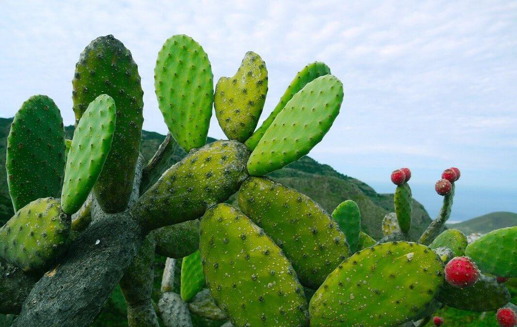 Aceite de Higo Chumbo – El nuevo elixir de los Aceites